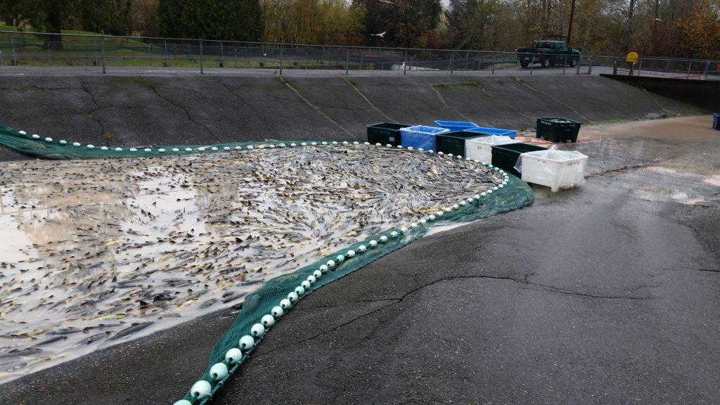 8000 Chum Salmon
